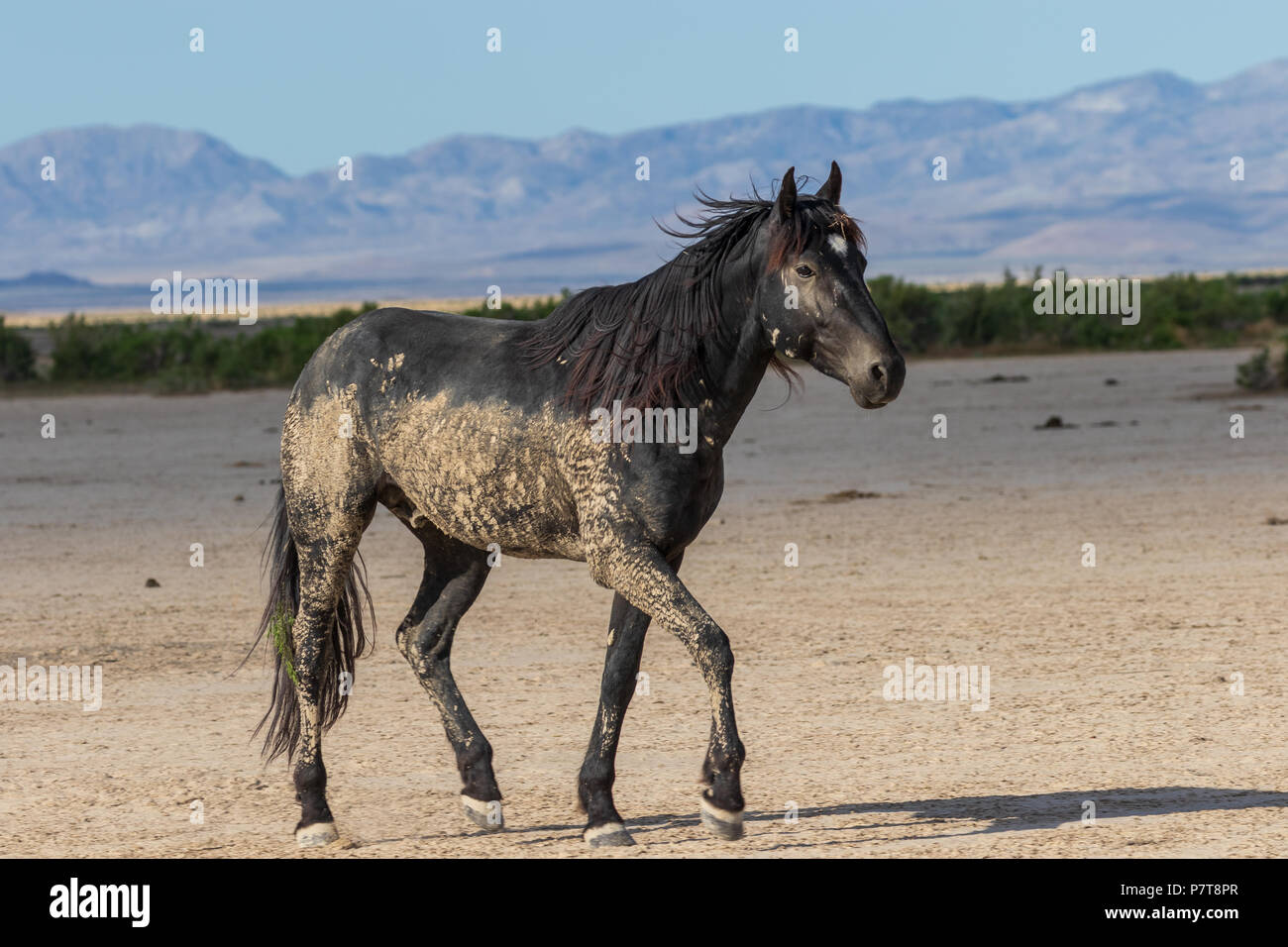 Wild Horse Stallion - Stock Image