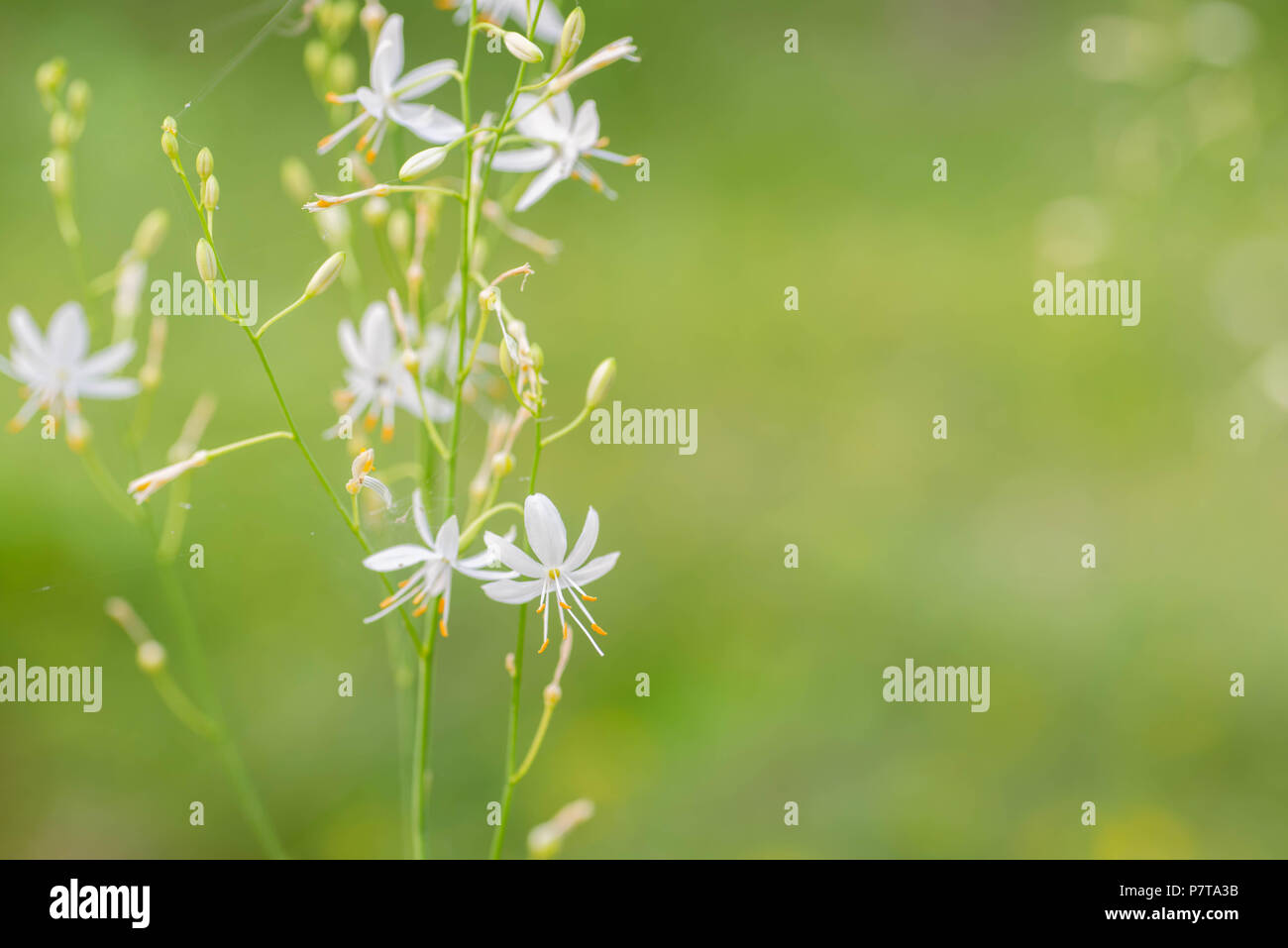 Small white flowers st bernards lily macro in forest stock photo small white flowers st bernards lily macro in forest izmirmasajfo