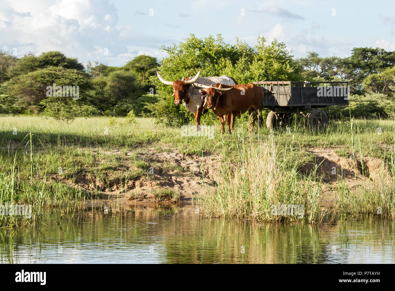 Oxen pulling a cart on the banks of the Kavango river between Namibia and Angola. - Stock Image