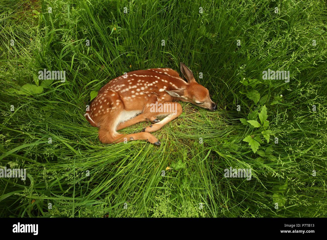 White white-tailed deer (Odocoileus virginianus), New York, fawn Stock Photo