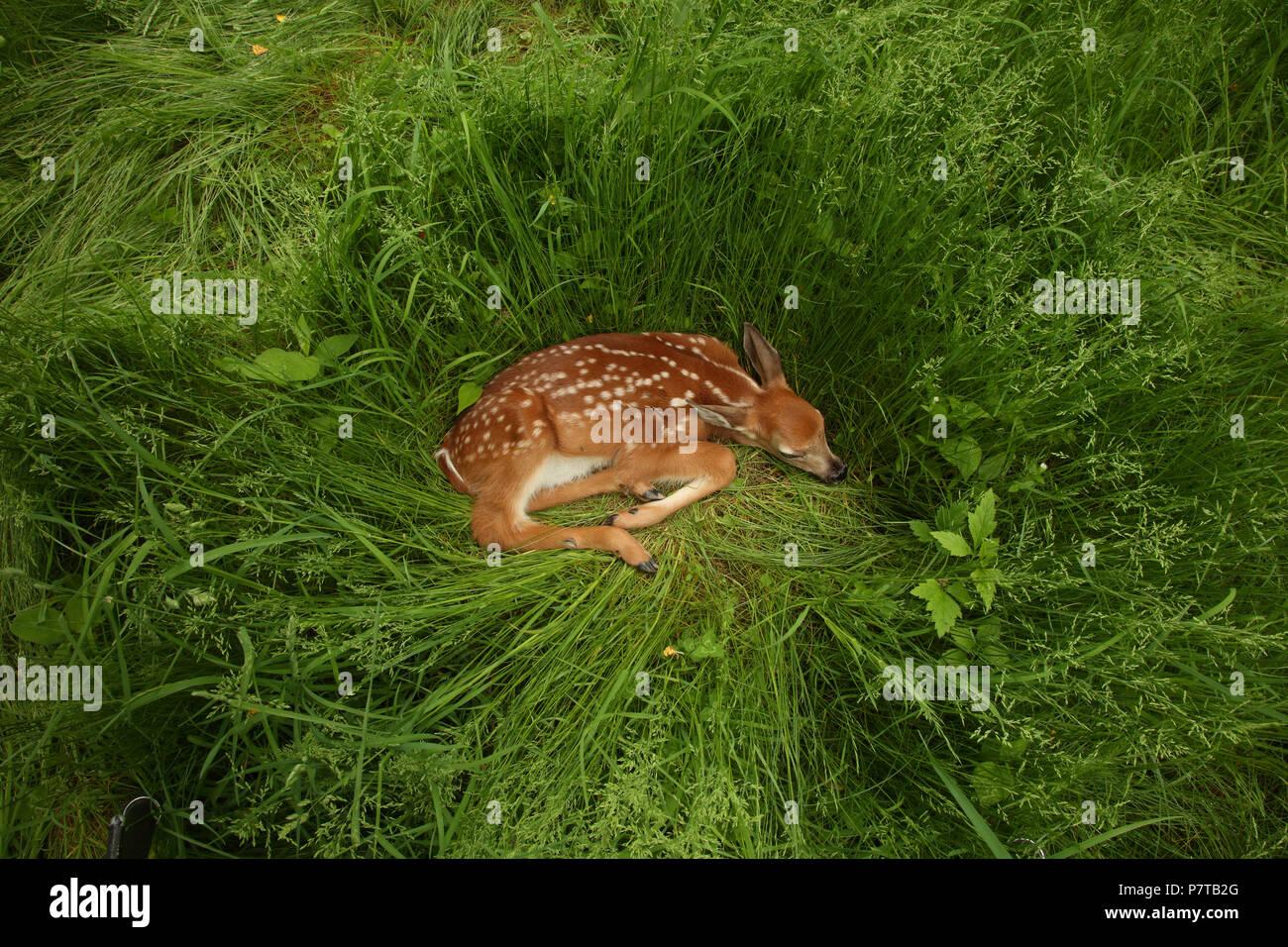 white-tailed deer (Odocoileus virginianus), New York, fawn - Stock Image