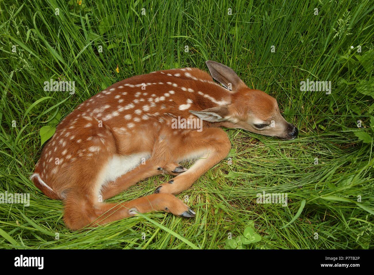 white-tailed deer (Odocoileus virginianus), New York, fawn Stock Photo