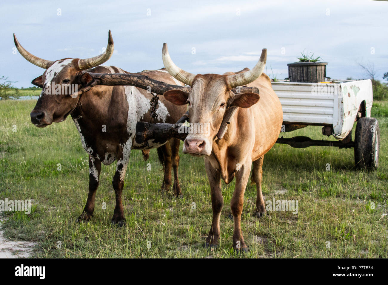 Long horned Oxen pulling a cart on the banks of the Kavango river between Namibia and Angola. - Stock Image