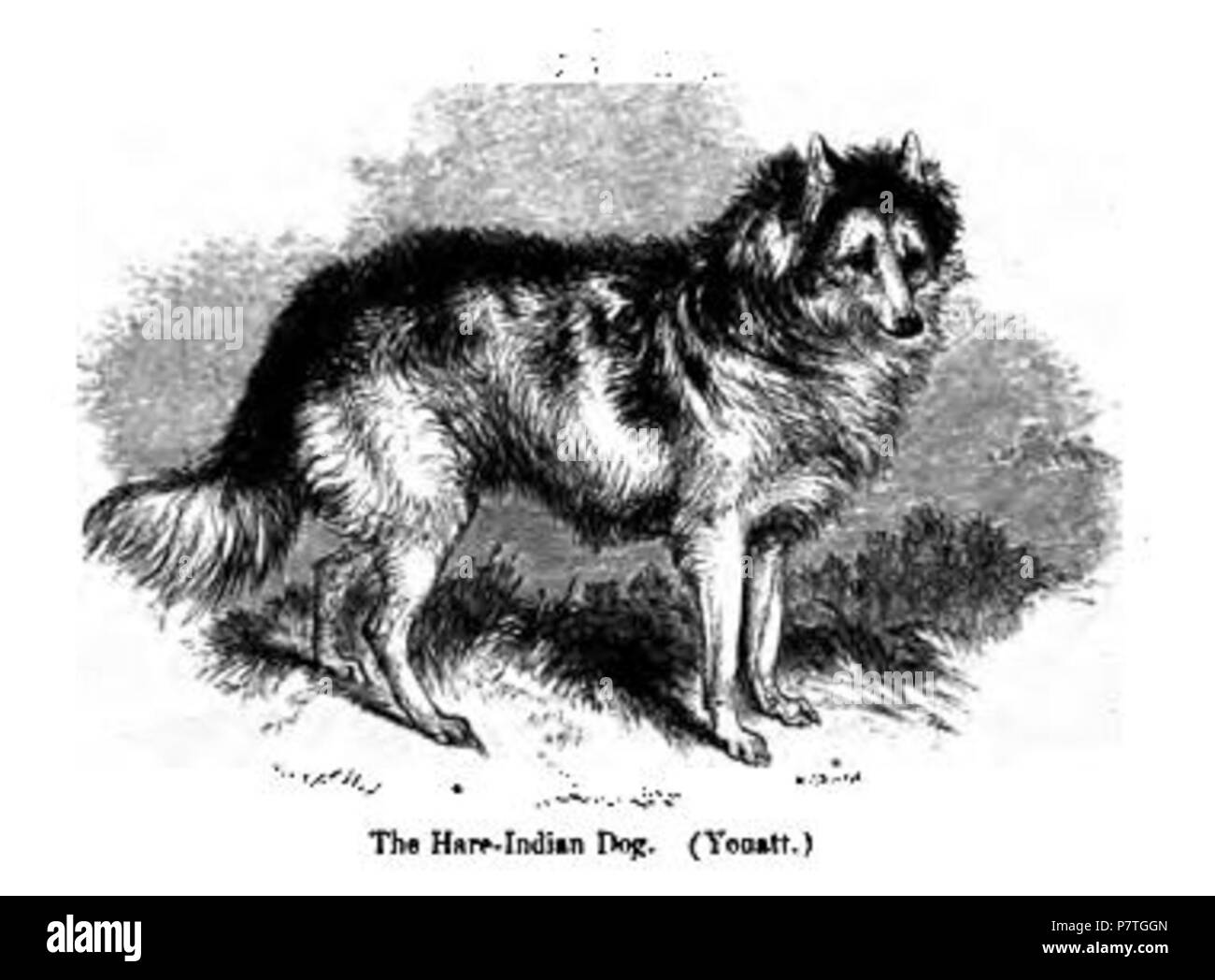 hare indian dog