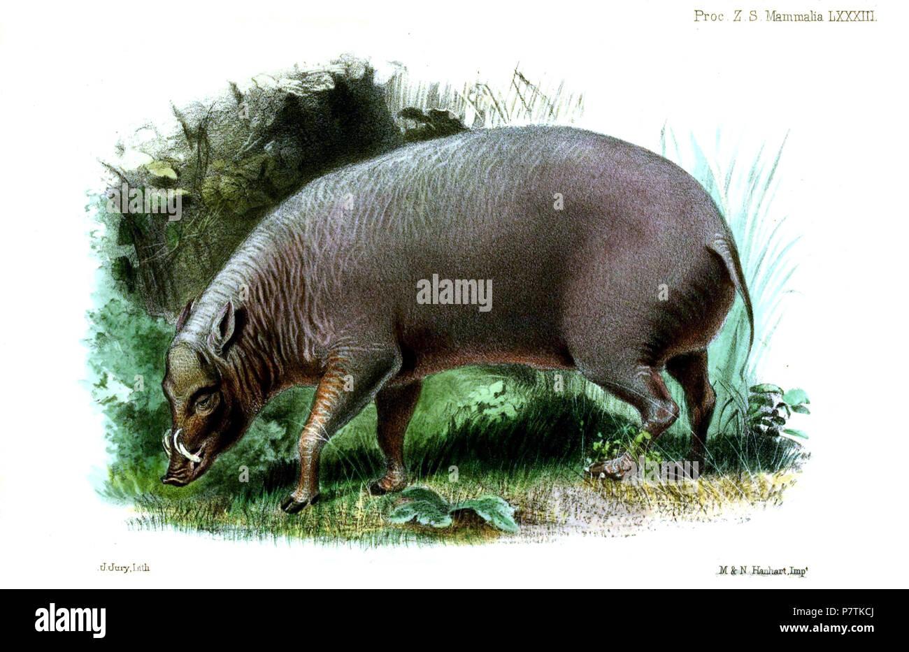 Babirussa alfurus 'ex ins. Celebes' = Babyrousa celebensis Deninger, 1909,  English: North Sulawesi Babirusa, young male . 1860 (published 1861) 31 BabirussaAlfurusJury - Stock Image