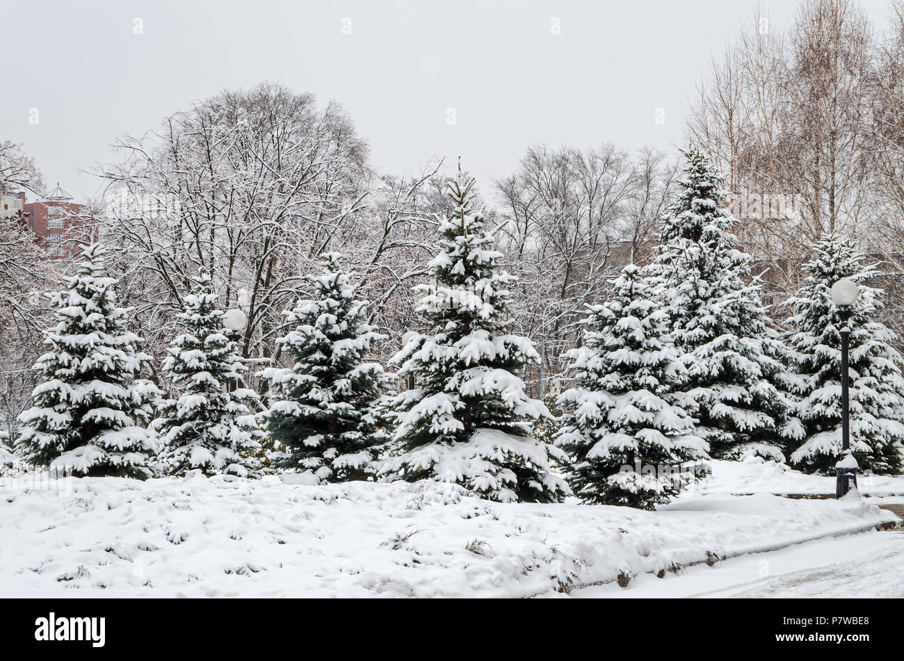 Cold January snow covered grove of young spruces in the city park - Stock Image