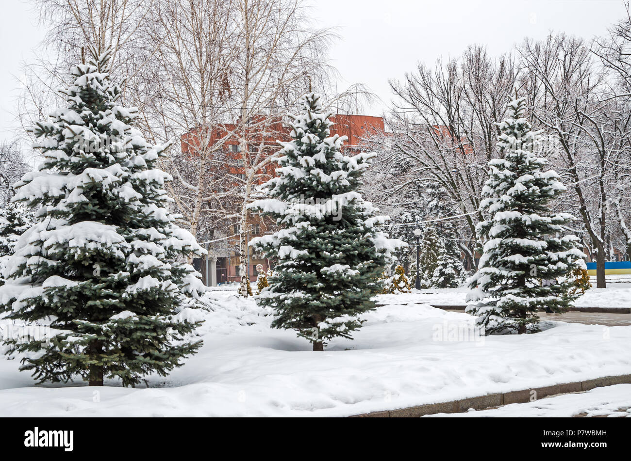 Frosty January snow covered grove of young spruces in the city park on a brick building background - Stock Image