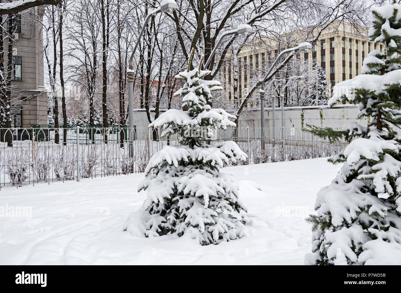 Cold January snow covered the young spruces in the city park on a background of administrative buildings - Stock Image