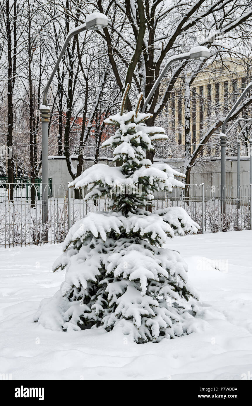 Cold January snow covered the young spruces in the city park on a background of street lamps - Stock Image