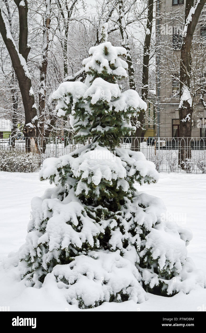 Cold January snow covered the young spruces in the city park on a background of an ancient house - Stock Image