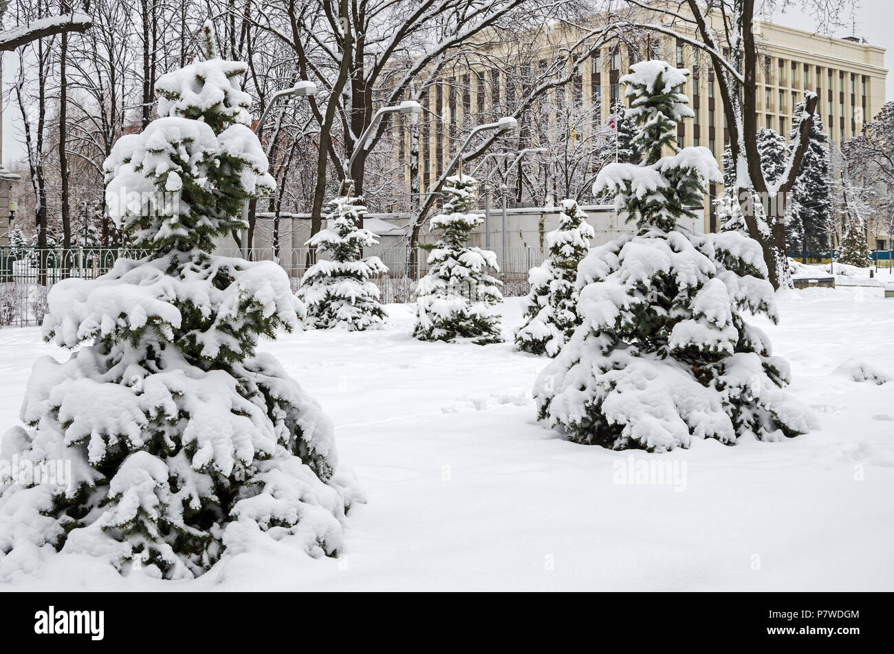 Grove of young spruces against the background of municipal buildings - Stock Image