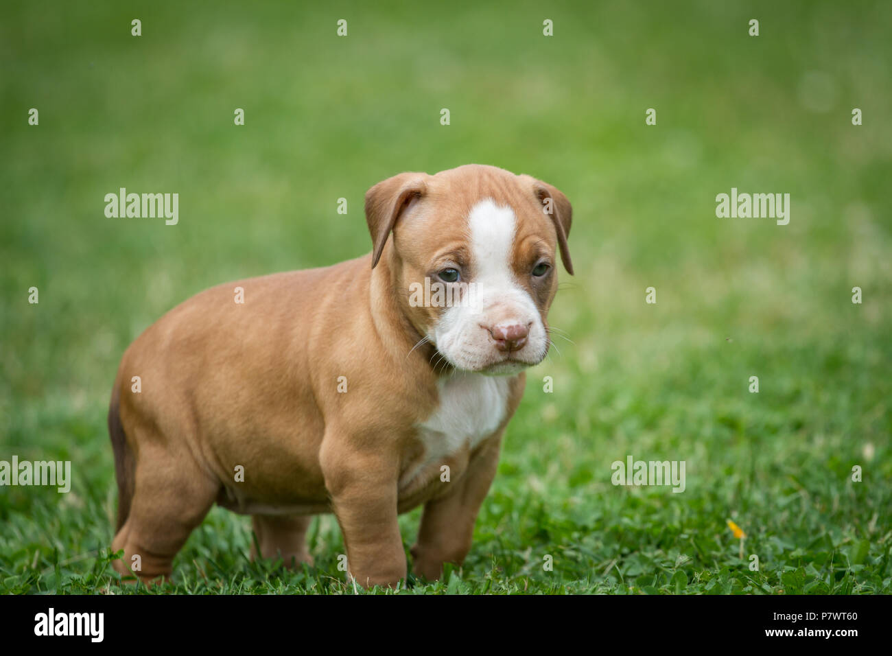 American Pit Bull Terrier puppy, Czech Republic - Stock Image