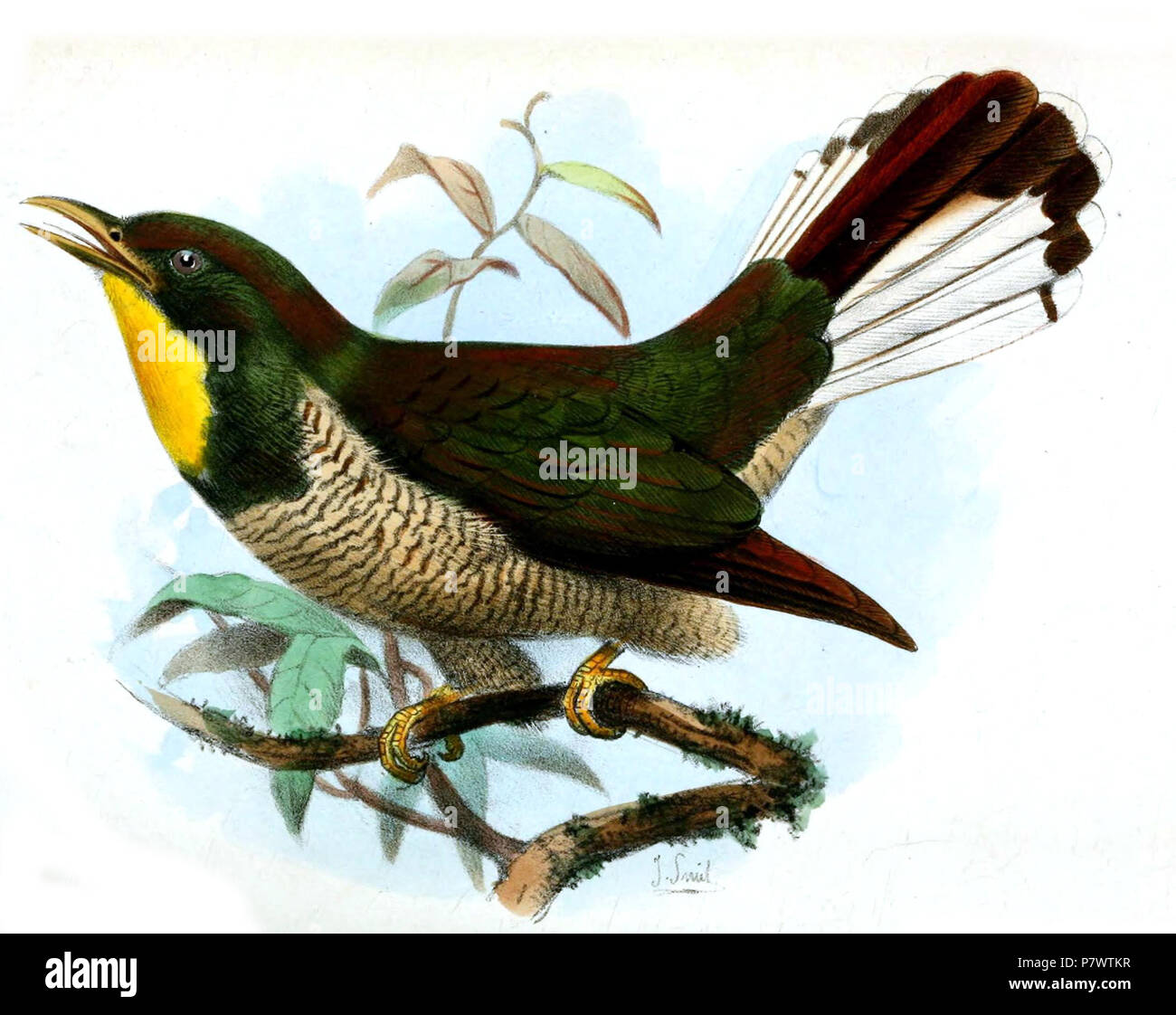 Chrysococcyx flavigularis . 1879 91 ChrysococcyxFlavigularisSmit - Stock Image