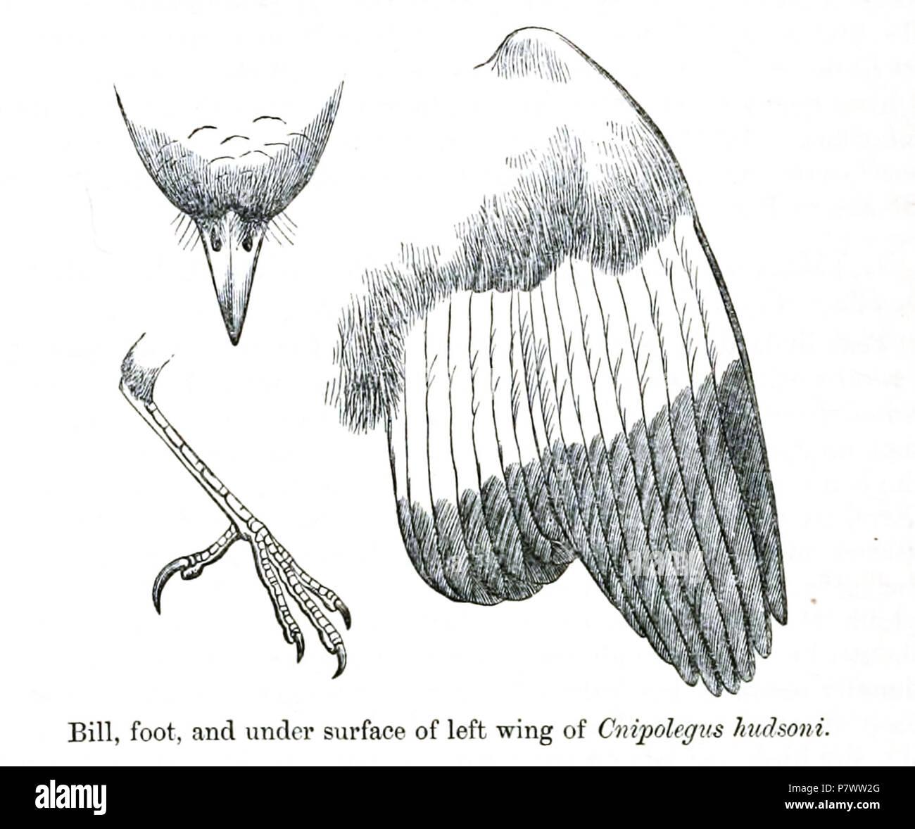 Cnipolegus hudsoni = Knipolegus hudsoni (Sharpe, 1870),  English: Hudson's Black-tyrant, male: left wing from ventral, beak from dorsal and foot from lateral . 1872 (published 1873) 93 CnipolegusHudsoniDetail - Stock Image