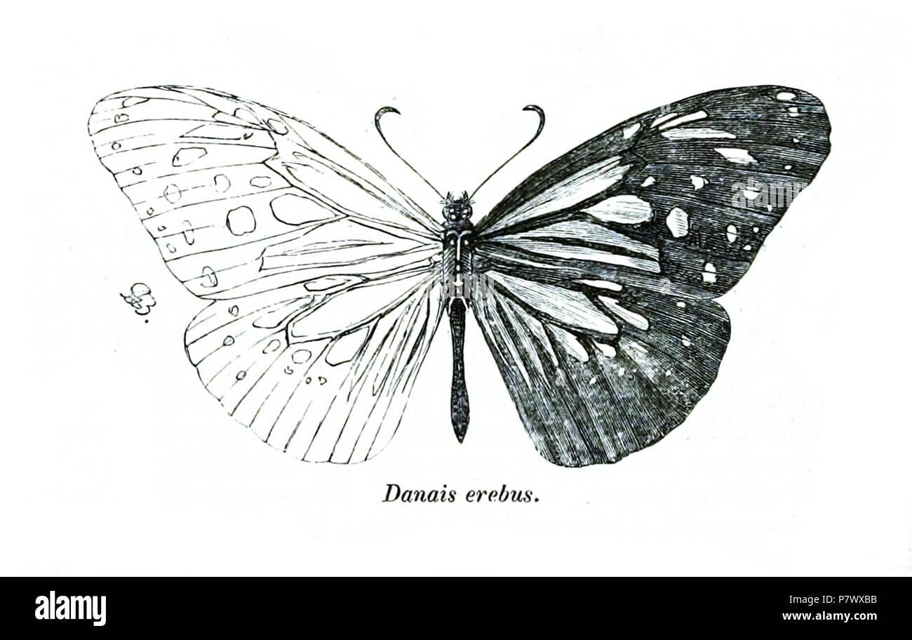 Danais erebus = Parantica luzonensis luzonensis (C. & R.Felder, 1863) . 1866 (published 1867) 102 DanaisErebusButler - Stock Image