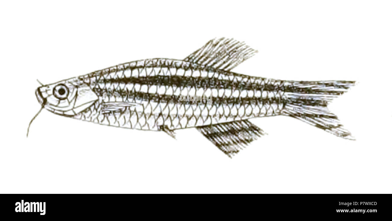 The species names / identity need verification - original names from plate are included here. The original plates showed the fishes facing right and have been flipped here. Danio rerio . 1878 102 Danio rerio Mintern 151 Stock Photo