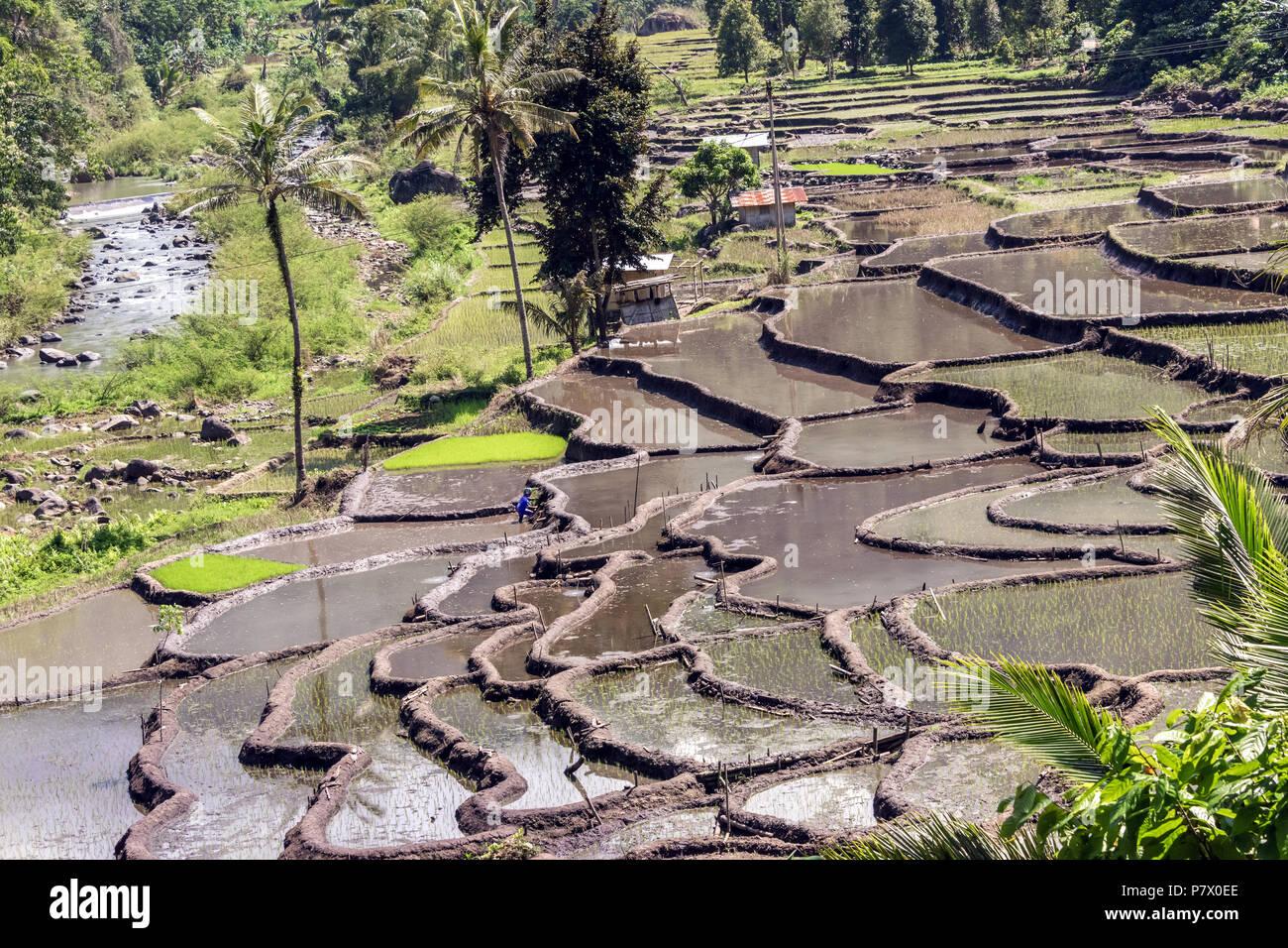 Rice terraces at planting season, near Detusoko, East Nusa Tenggara, Indonesia - Stock Image