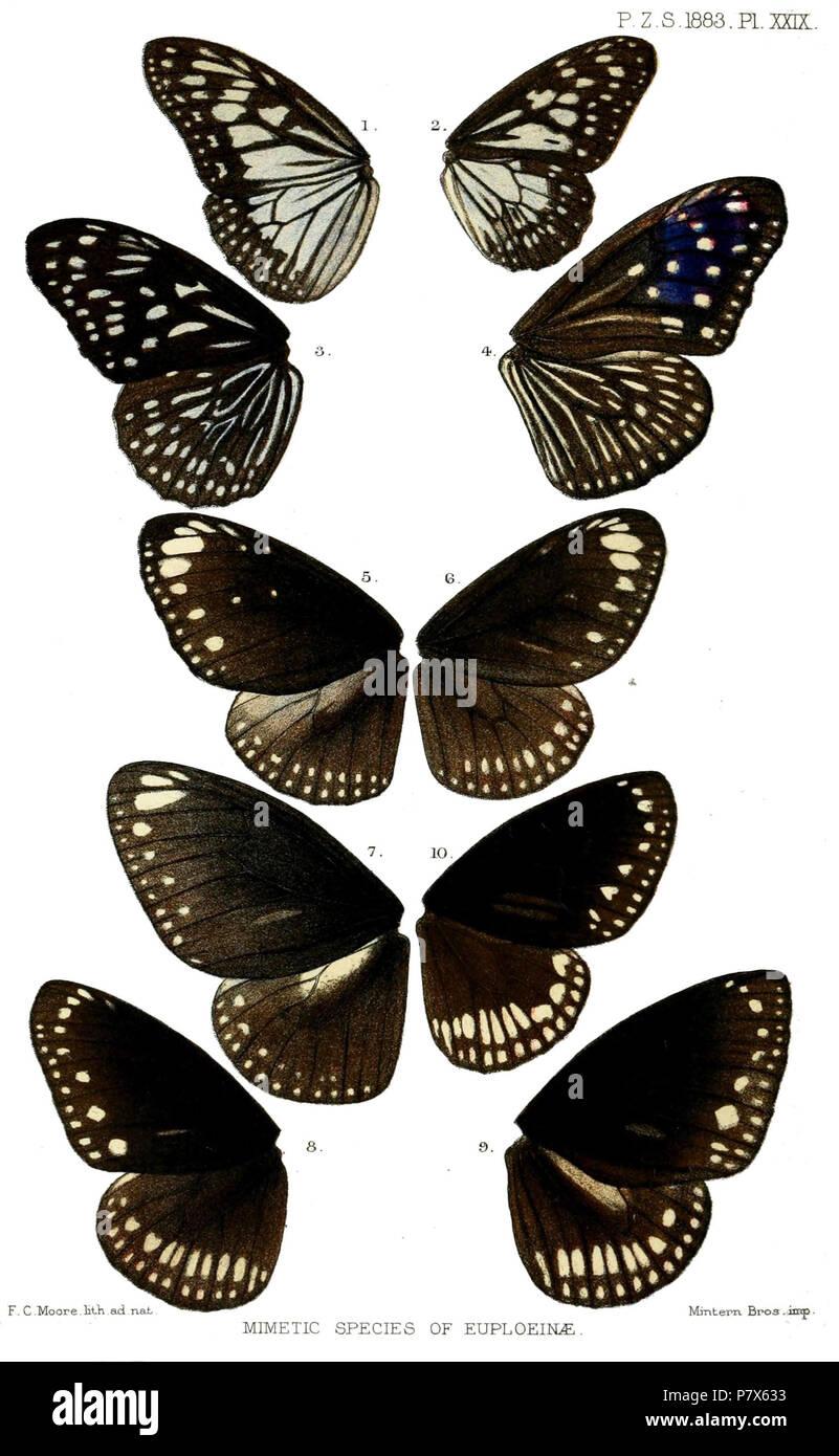 Radena juventa = Ideopsis juventa (Cramer, [1777]),  Tirumala conjuncta = Tirumala limniace conjuncta Moore, [1884],  [Tirumala] septentrionis = Tirumala septentrionis (Butler, 1874),  Trepsichrois linnæi = Euploea mulciber (Cramer, [1777]),  Tronga bremeri = Euploea crameri bremeri C. & R.Felder, 1860,  Crastia distanti = Euploea core distanti (Moore, 1882),  Isamia chlo = Euploea midamus chloe (Guérin-Méneville, 1843),  Crastia core = Euploea core core (Cramer, [1780]),  Pademma kollari = Euploea klugii kollari C. & R.Felder, 1860,  Narmada coreodes = Euploea sylvester coreta (Godart, [1819] - Stock Image