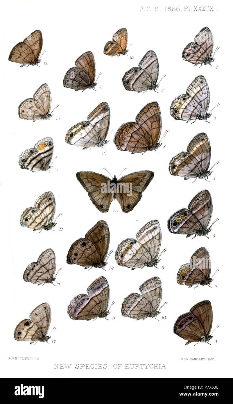 Euptychia terrestris = Cissia terrestris (Butler, [1867]) [Euptychia] usitata = Cissia pompilia (C. & R.Felder, [1867]) [Euptychia] pieria = Cissia pompilia (C. & R.Felder, [1867]) [Euptychia] austera = Yphthimoides austera (Butler, [1867]) [Euptychia] erigone = Yphthimoides maepius maepius (Godart, [1824]) [Euptychia] eriphule = Yphthimoides eriphule (Butler, [1867]) [Euptychia] electra = Yphthimoides yphthima (C. & R.Felder, [1867]),  [Euptychia] variabilis = Yphthimoides manasses (C. & R.Felder, [1867]) [Euptychia] affinis = Yphthimoides affinis (Butler, [1867]) [Euptychia] ambigua = Paryph - Stock Image