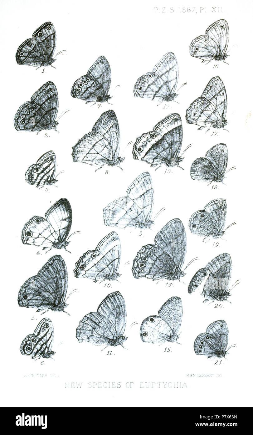 Euptychia lethe = Manerebia mycalesoides (C. & R.Felder, [1867]),  [Euptychia] nebulosa = Magneuptychia nebulosa (Butler, [1867]) [Euptychia] westwoodii [sic] = Euptychia westwoodi (Butler, [1867]) [Euptychia] hiemalis = Magneuptychia gera gera (Hewitson, 1850) [Euptychia] polyphemus = Forsterinaria neonympha (C. & R.Felder, [1867]) [Euptychia] picea = Euptychia picea (Butler, [1867]) [Euptychia] mima = Zischkaia mima (Butler, [1867]) [Euptychia] angularis = Yphthimoides angularis (Butler, 1867),  [Euptychia] straminea = Yphthimoides straminea (Butler, 1867),  [Euptychia] similis = Cissia simi - Stock Image
