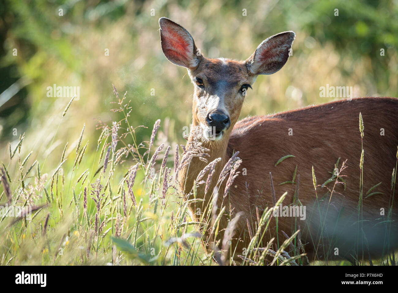 A black tailed deer, Odocoileus hemionus columbianus, behind some grass in Astoria, Oregon. - Stock Image
