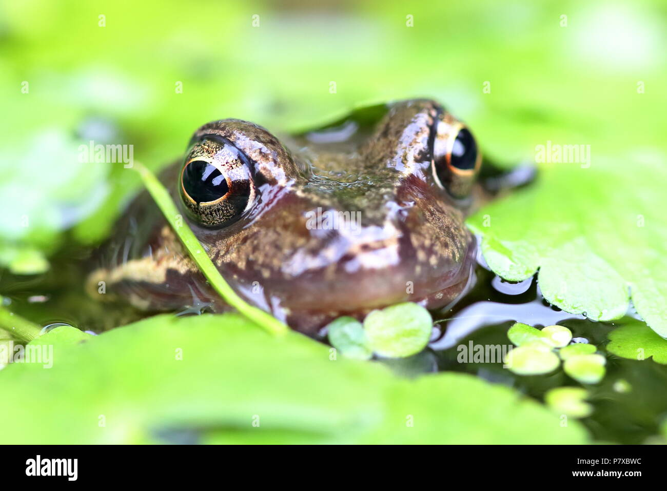 EUROPEAN COMMON FROG Rana Temporaria Stock Photo