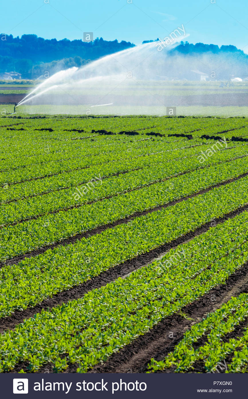 Irrigation of crops on a polder marsh farm near Bradford Ontario Canada Holland Marsh - Stock Image