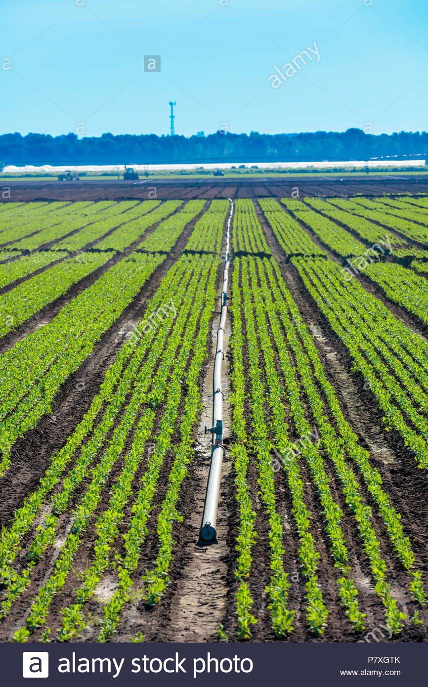 Irrigation pipe and crops on a polder marsh farm near Bradford Ontario Canada Holland Marsh - Stock Image