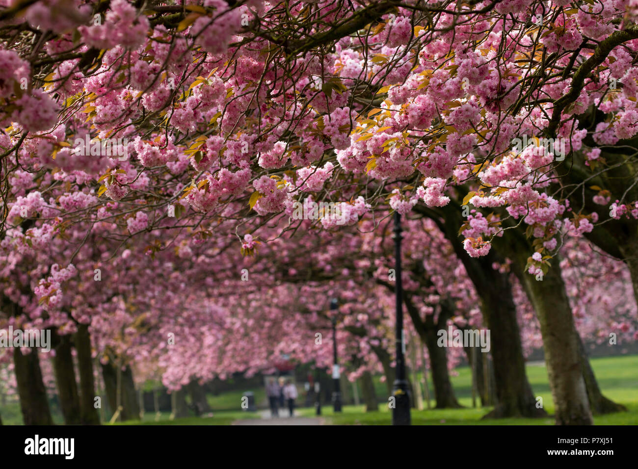 A canopy of Pink Cherry blossom over a path in Harrogate,North Yorkshire,England,UK. - Stock Image