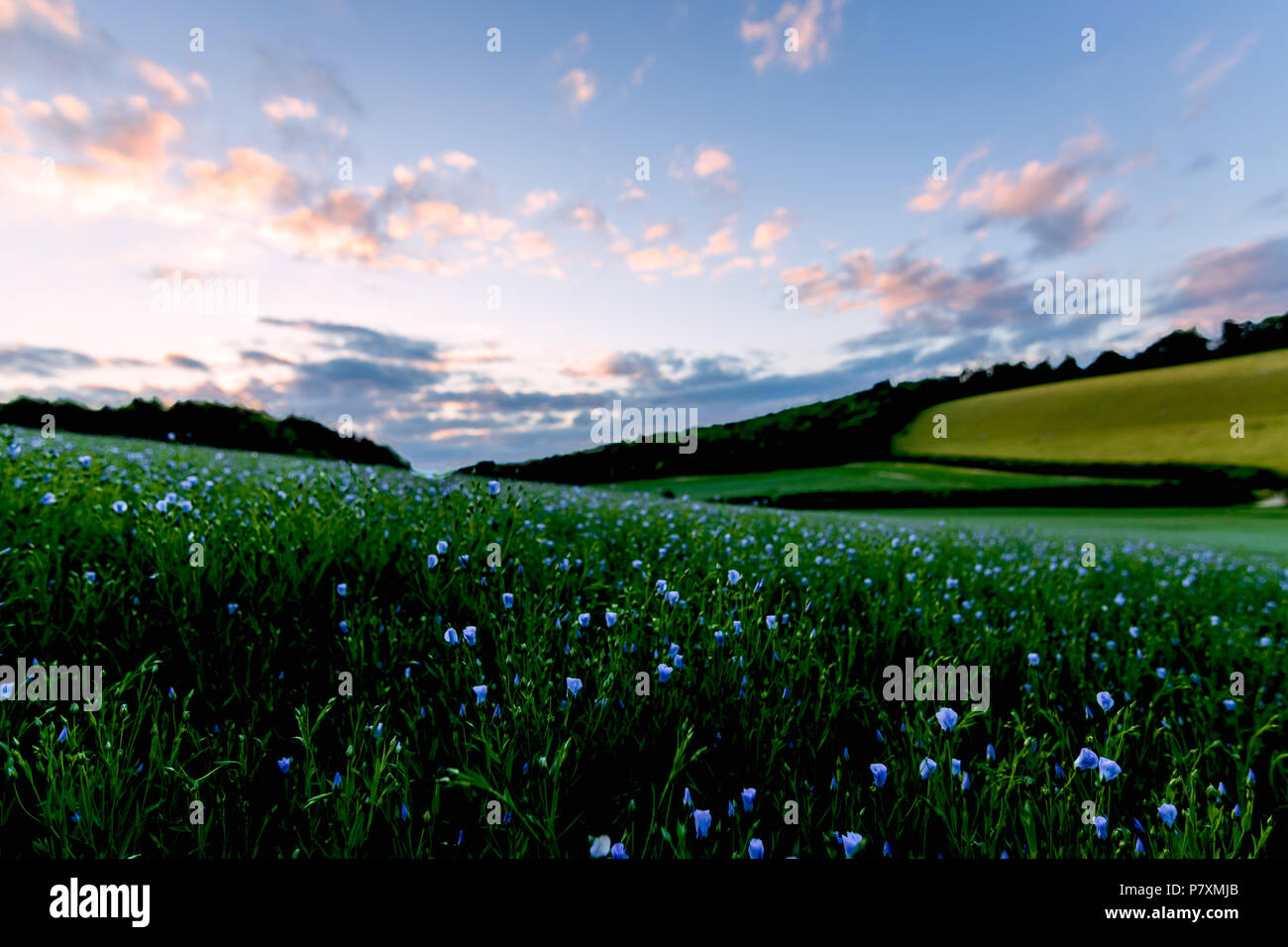 A field of flax flowers in the Bix Valley in the Chilterns - Stock Image