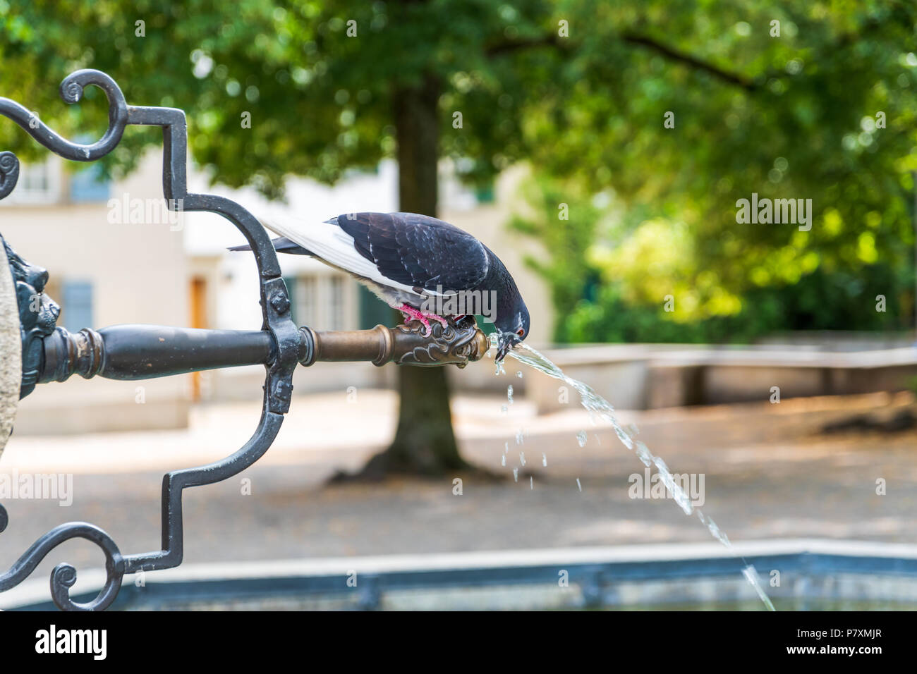 A pigeon drinks from the fountain at the Lindenhof, Zurich - Stock Image