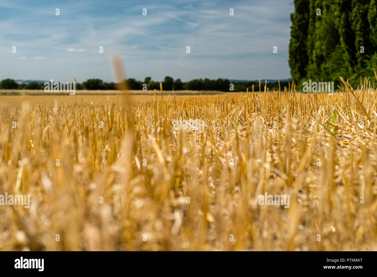 Landscape Of Golden Stubble Field By Summertime On