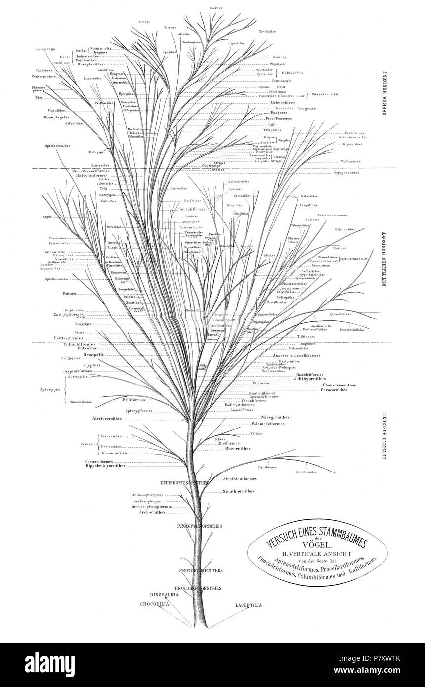 Phylogenetic Tree Of Birds Based On Anatomy And Morphology By Max