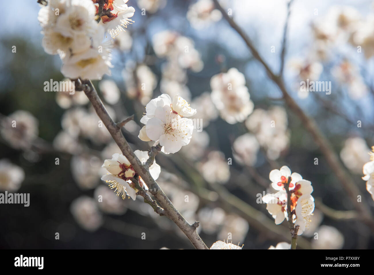 White Flowers Of Cherry Plum Tree Selective Focus Japan Flower