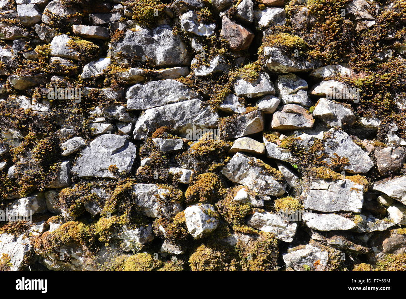 A lichen covered dry stone wall at Trow Gill Gorge at the foot of Ingleborough Mountain & one of the Three Peaks Challenge routes to the summit. - Stock Image