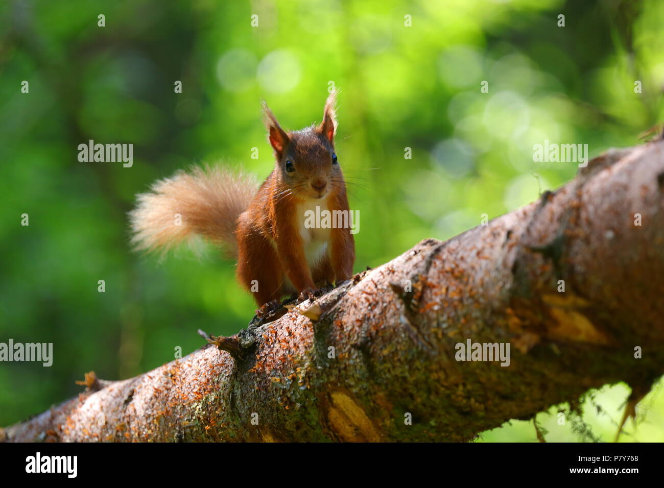 One of Yorkshires Red Squirrel population at the Snaizeholme Red Squirrel Viewpoint near Hawes in North Yorkshire. Stock Photo