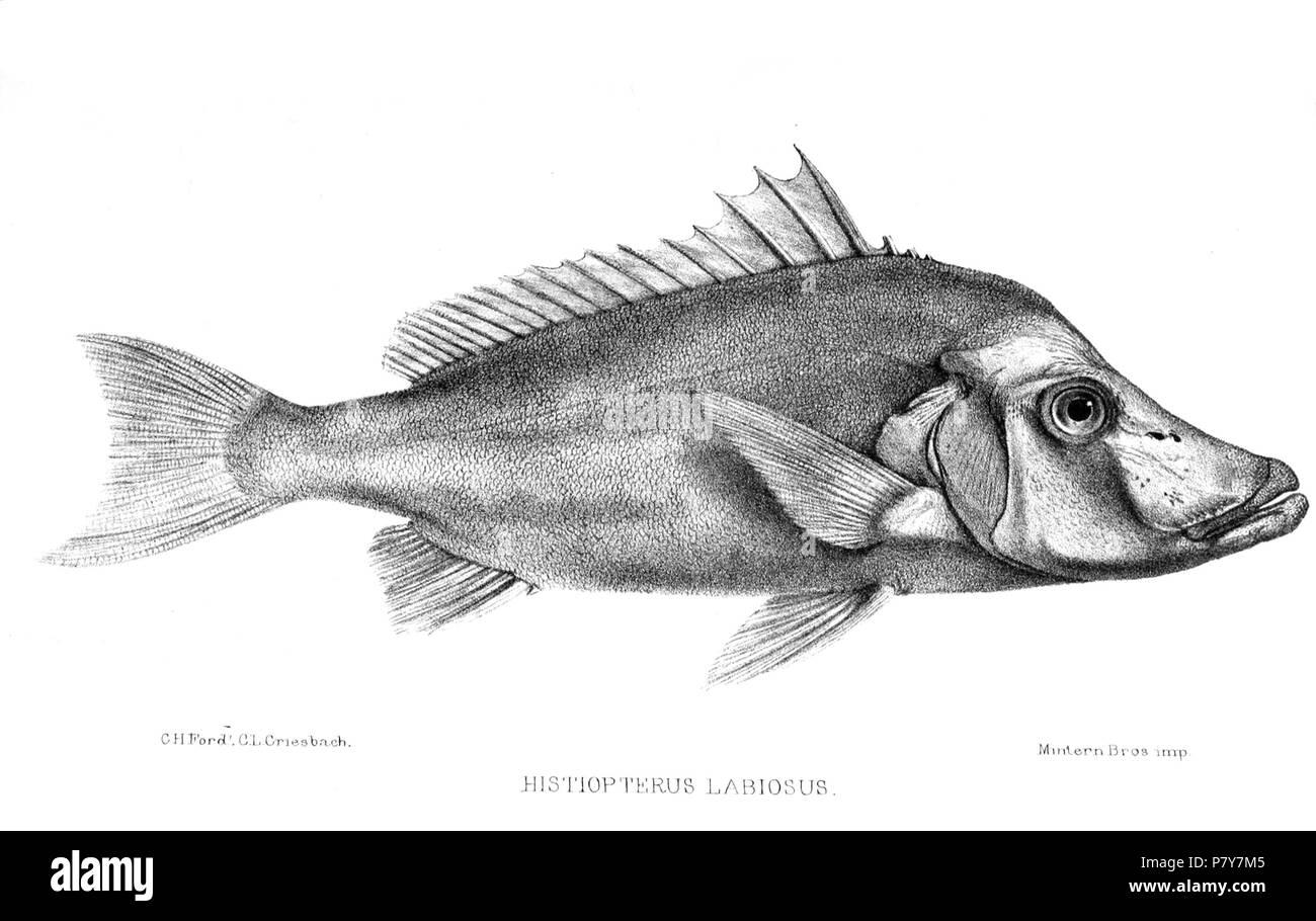 Histiopterus labiosus = Paristiopterus labiosus (Günther, [1872]) English: Giant Boarfish . 1871 (published 1872) 194 HistiopterusLabiosusFord Stock Photo