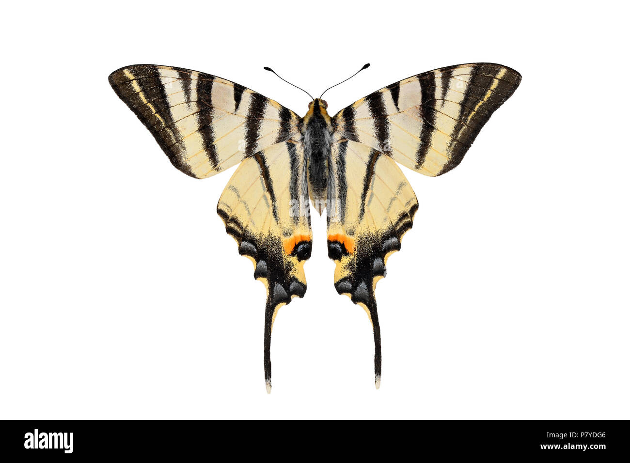 Scarce swallowtail butterfly, isolated on a white background - Stock Image