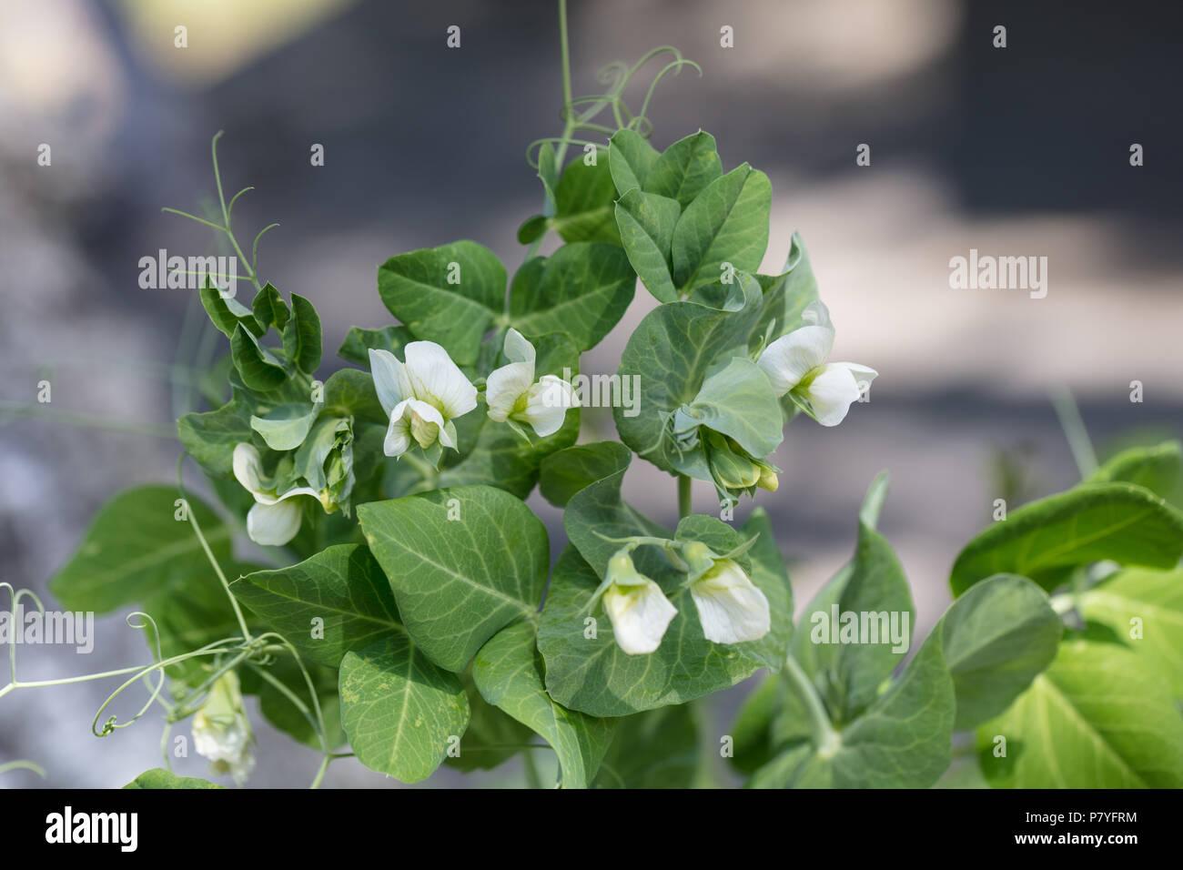 'Grijze roodbloeiende' Garden pea, Sockerärt (Pisum sativum) - Stock Image