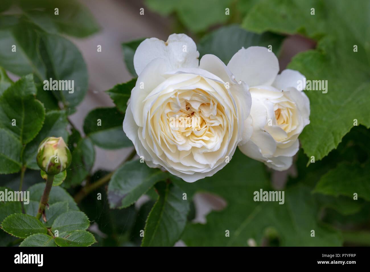 'Tranquillity, Ausnoble' English Rose, Engelsk ros (Rosa) - Stock Image