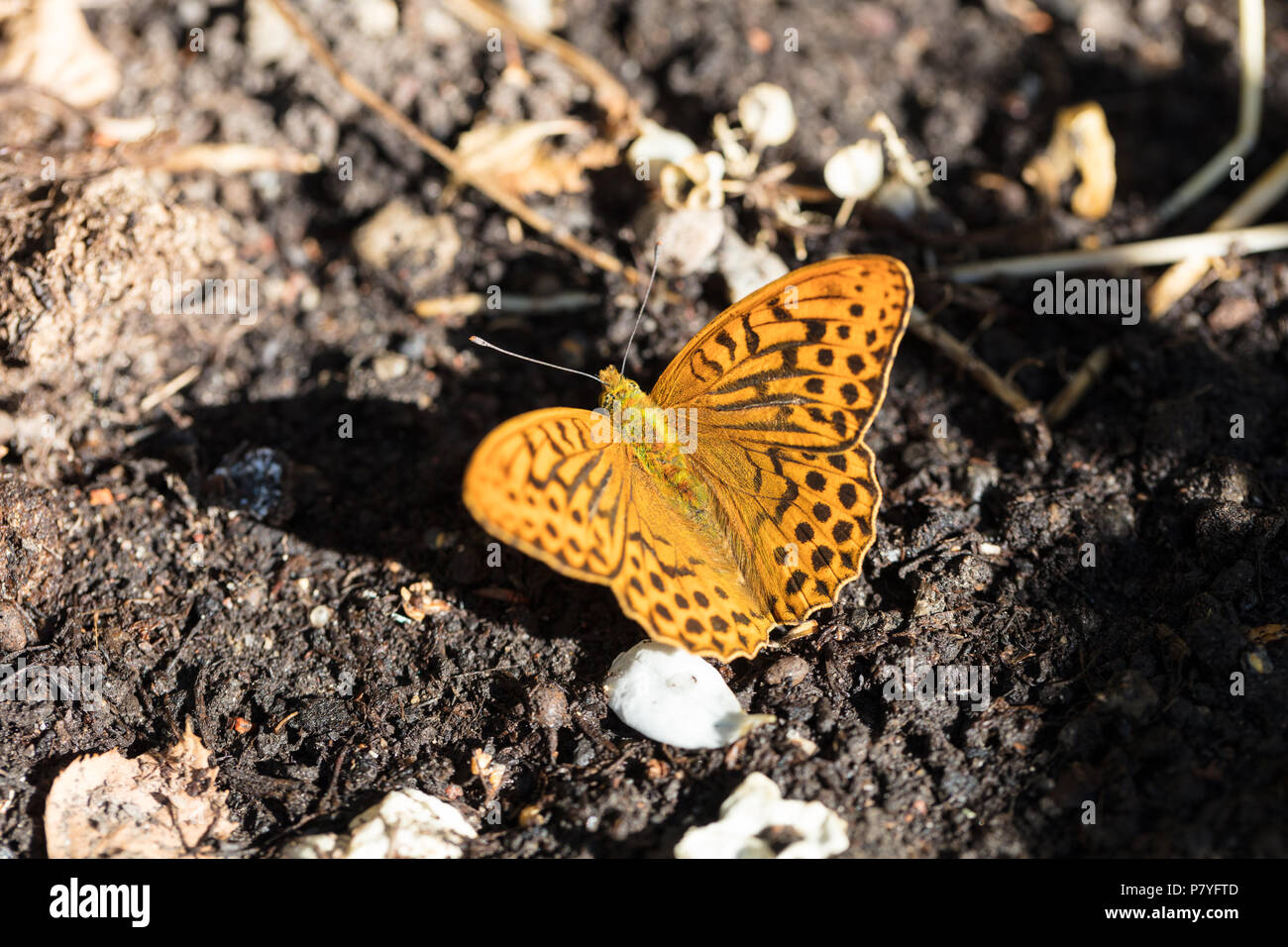 High brown fritillary, Skogspärlemorfjäril (Argynnis adippe) - Stock Image