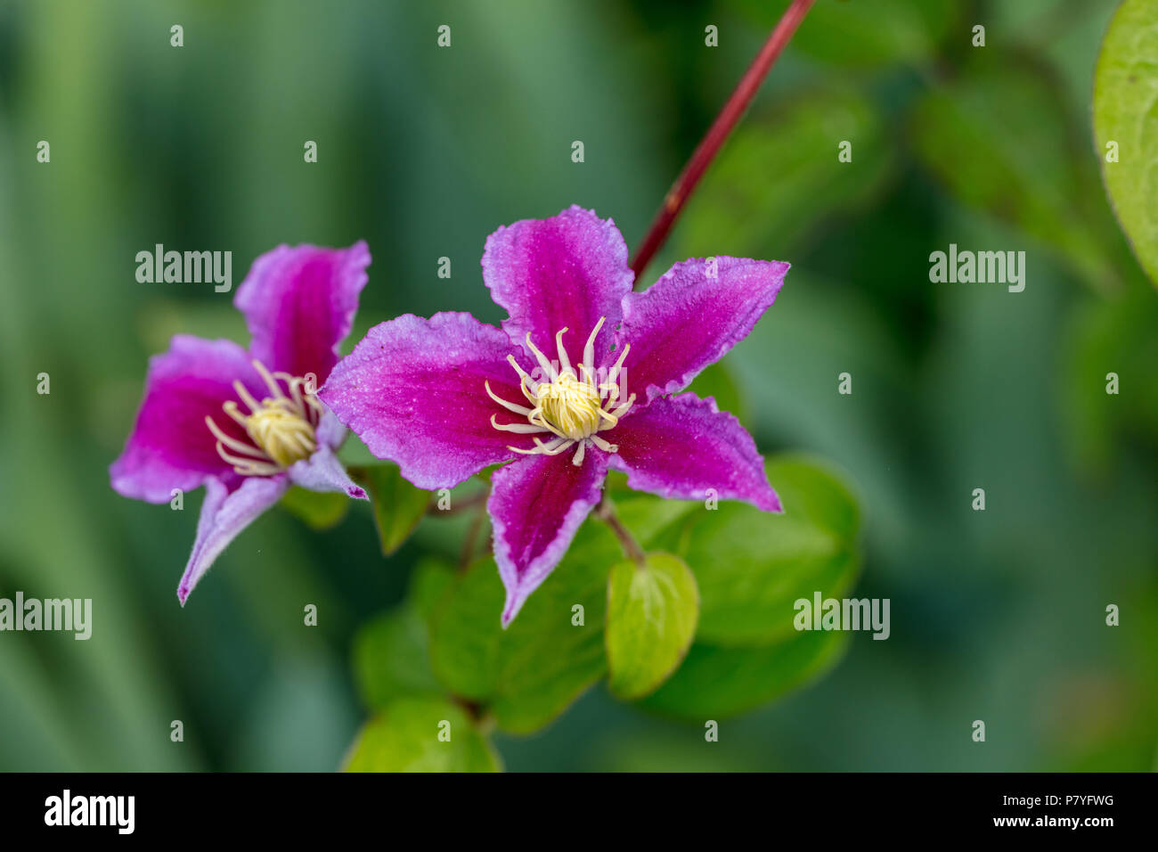 'Piilu' Late large-flowered group, Sena storblommig gruppen (Clematis) - Stock Image