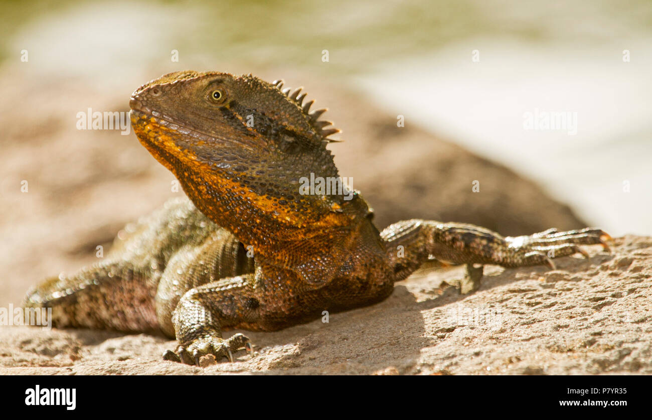 Australian eastern water dragon, Itellegama lesueurii with ornage patches on face, on exposed tree root beside lake in city parkland - Stock Image