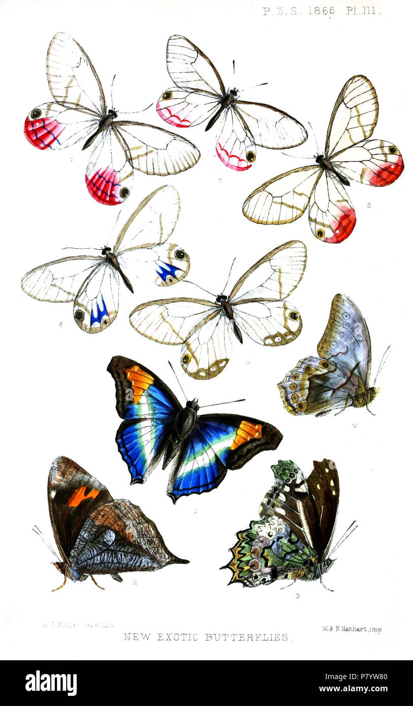 Chlorippe (Apatura) lavinia = Doxocopa lavinia (Butler, 1866),  Corades cybele = Corades cybele cybele Butler, 1866 Dædalma emilia = Junea dorinda dorinda (C. & R.Felder, 1862) Debis isabella = Lethe chandica negrito (C. & R.Felder, 1863),  Hetæra pellucida = Cithaerias andromeda andromeda (Fabricius, 1775),  [Hetæra] harpalyce = Cithaerias andromeda andromeda (Fabricius, 1775),  [Hetæra] aurora = Cithaerias pireta aurora (Salvadori, 1864),  [Hetæra] aurora = Cithaerias pireta aurora (Salvadori, 1864),  [Hetæra] andromeda (auct. non Fabricius, 1775) = Cithaerias pireta ssp. (Stoll, [1780]) Eng - Stock Image
