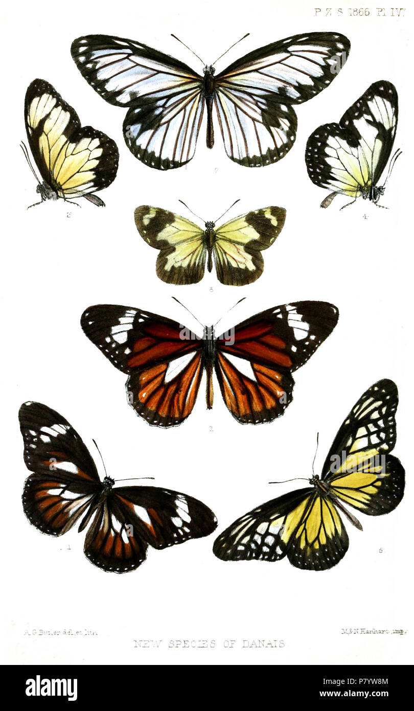 Danais fulgurata = Danaus affinis fulgurata (Butler, 1866) [Danais] conspicua = Danaus genutia conspicua (Butler, 1866) [Danais] gloriola = Parantica schenkii citrina (C. & R.Felder, [1865]),  [Danais] gloriola = Parantica schenkii citrina (C. & R.Felder, [1865]),  Danais crocea = Parantica aspasia (Fabricius, 1787) [missing] [Danais] mariana = Parantica pumila mariana (Butler, 1865) [Danais] inuncta = Ideopsis vitrea inuncta (Butler, 1865) English: Danaini butterflies 1: Black-and-white Tiger, upperside 2: Common Tiger, upperside . 1866 (published 1867) 244 Lepidoptera2ButlerPZSL1866 - Stock Image