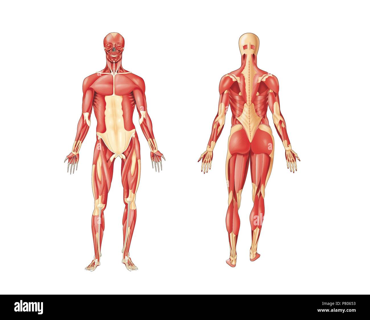 Major Muscles Of The Human Body Anterior And Posterior View Stock