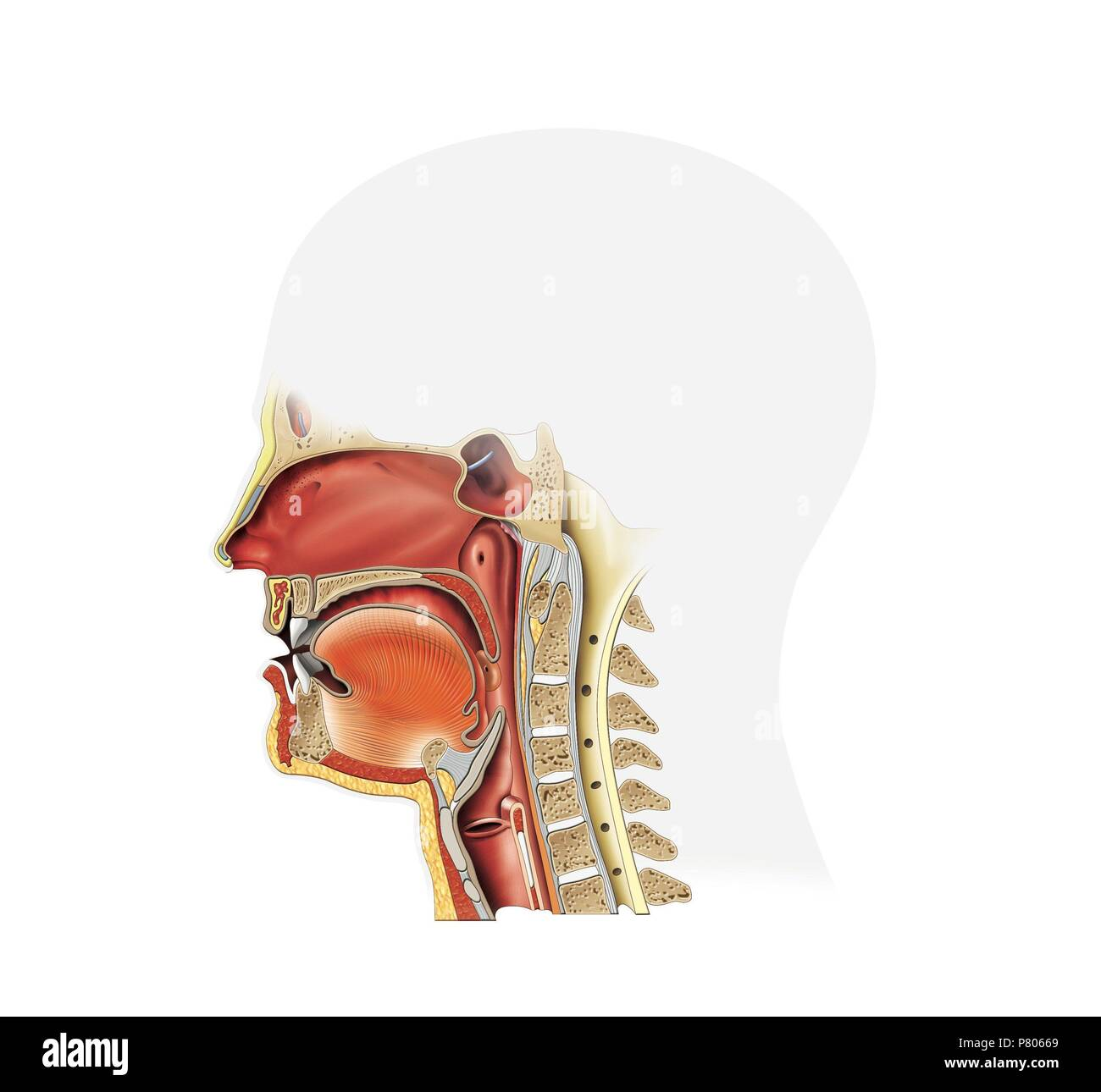 Buccal Cavity Diagram  Digestive System Of Rabbit  With