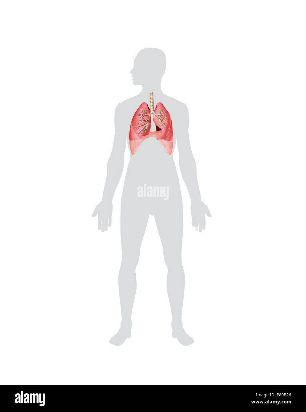 Respiratory System Lower Respiratory Tract Stock Photo 211450350