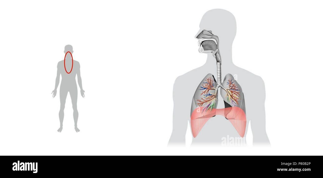 Respiratory System Diaphragm Stock Photo 211450366 Alamy