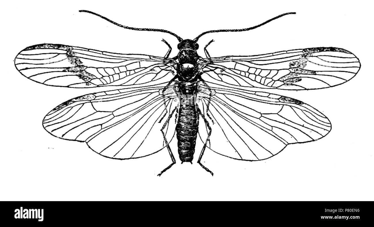 316 Plecoptera sketch - Stock Image
